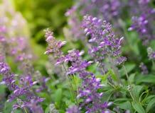 Purpura kwiat na letnim dniu w ogródzie Obrazy Royalty Free