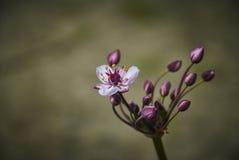 Purpura kwiat na wodzie Obraz Royalty Free