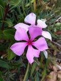 Purpura kwiat przy kwiatem obraz royalty free