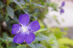 Purpura kwiat Tibouchina w zieleń ogródzie Obrazy Stock