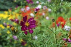 Purpura kwiat w flowerbed Zdjęcie Royalty Free