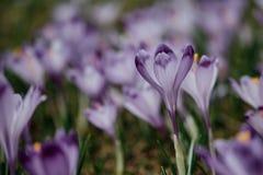 Purpura kwiat w górach obrazy royalty free