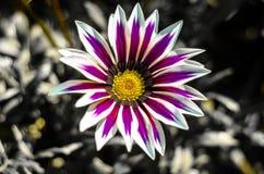 Purpura kwiat w Holambra zdjęcie royalty free