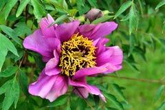 Purpura kwiat w ogródzie Obraz Stock