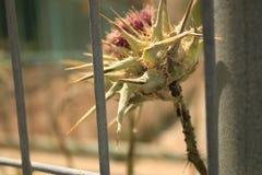 Purpura kwiat z kolcami Zdjęcia Stock