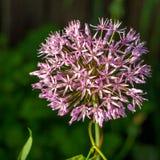 purpura kwiatu łęk Obrazy Royalty Free