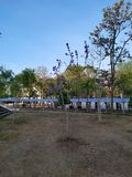 Purpura kwiatu drzewny ranek w parku fotografia royalty free