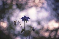 Purpura kwiatu kolombina zdjęcia stock