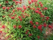 Purpura kwiatu krzak Zdjęcia Stock