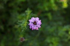 Purpura kwiatu kwiaty Zdjęcie Stock