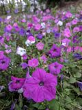 Purpura kwiatu kwiaty zdjęcie royalty free