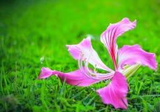 Purpura kwiatu kwitnienie na zielonej trawie Zdjęcia Royalty Free