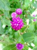 Purpura kwiatu strzał obrazy royalty free