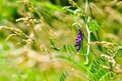 Purpura kwiatu wyka Vicia cracca zbliżenie makro- Kiciasta wyka - Vicia cracca krowy wyka i ptasia wyka, także Fotografia Stock