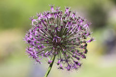 Purpura kwiatu zakończenie Zdjęcia Royalty Free
