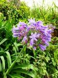 Purpura kwiatu zieleń Zdjęcie Royalty Free