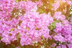 Purpura kwiaty, Kolorowy Bougainvillea Bush dla Dekoracyjnego ogródu Obrazy Stock