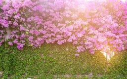 Purpura kwiaty, Kolorowy Bougainvillea Bush dla Dekoracyjnego ogródu Obraz Stock