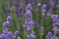 Purpura kwiaty - lawenda Obraz Royalty Free