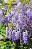 Purpura kwitnie Anemonowego x hybrida kwitnienie w Auckland ogródach botanicznych Fotografia Stock
