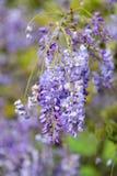 Purpura kwitnie Anemonowego x hybrida kwitnienie w Auckland ogródach botanicznych Zdjęcie Royalty Free