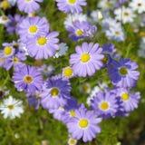 Purpura kwitnie Brachicoma Zdjęcie Royalty Free