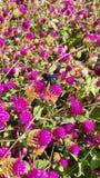 Purpura kwitnie bumblebee Fotografia Royalty Free