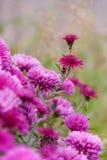 Purpura kwitnie chryzantemy Zdjęcie Royalty Free