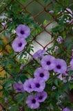 Purpura kwitnie Ipomoea Cairica Piękny kwiat dalej fechtuje się A gwiazdę Zdjęcie Stock