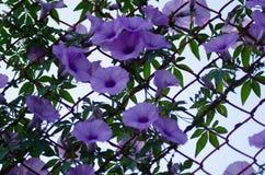 Purpura kwitnie Ipomoea Cairica Piękny kwiat dalej fechtuje się A gwiazdę Obraz Royalty Free