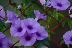 Purpura kwitnie Ipomoea Cairica Piękny kwiat dalej fechtuje się A gwiazdę Zdjęcia Royalty Free