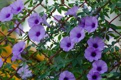 Purpura kwitnie Ipomoea Cairica Piękny kwiat dalej fechtuje się A gwiazdę Obrazy Stock