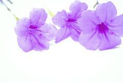 Purpura kwitnie krakersa Fotografia Stock