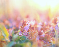 Purpura kwitnie kwiecenie Zdjęcia Royalty Free