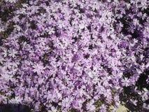 Purpura kwitnie morze na boku droga Obrazy Royalty Free