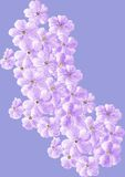 Różowy floks Obraz Royalty Free
