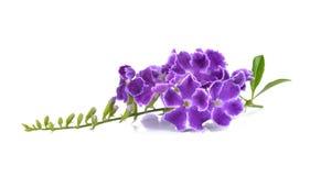 Purpura kwitnie na białym tle Zdjęcie Stock