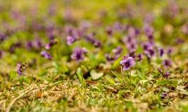 Purpura kwitnie na freen gazonie Zdjęcia Stock