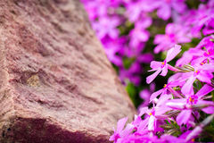Purpura Kwitnie Na kamieniu Fotografia Royalty Free