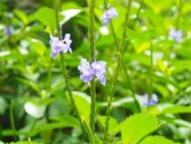 Purpura Kwitnie na Roatan wyspie zdjęcia royalty free
