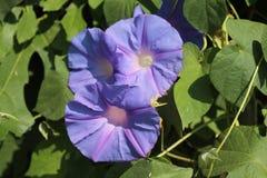 Purpura kwitnie na ulicznych winogradach fotografia royalty free