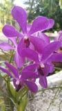 Purpura kwitnie ocho rios jamacia Obrazy Stock
