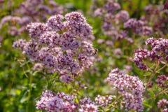 Purpura kwitnie oregano w ogródzie zdjęcia royalty free