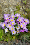Purpura kwitnie pierwiosnki na łóżku (Primula Vulgaris) Zdjęcia Royalty Free