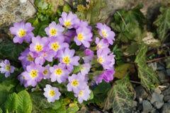 Purpura kwitnie pierwiosnki (Primula Vulgaris) Obraz Stock