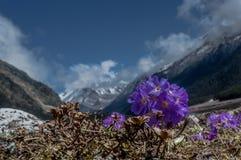 Purpura kwitnie Primula farinose lub Himalajskiego pierwiosnku przy Yumthang doliną, Sikkim, India fotografia royalty free