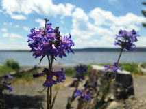 Purpura kwitnie przy Jeziornym Yellowstone Zdjęcia Royalty Free