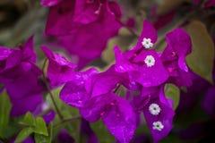 Purpura kwitnie przy ogródem w Wietnam Zdjęcia Stock