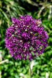 Purpura Kwitnie w pogodnym ogródzie zdjęcie royalty free