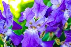 Purpura Kwitnie w s?o?cu obraz royalty free